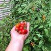 ladybug22_